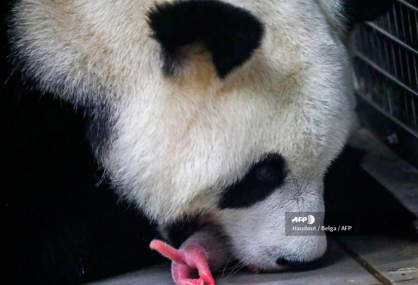 Este hecho se da tres años después de dar la bienvenida a un primer cachorro macho, Tiao Bao.