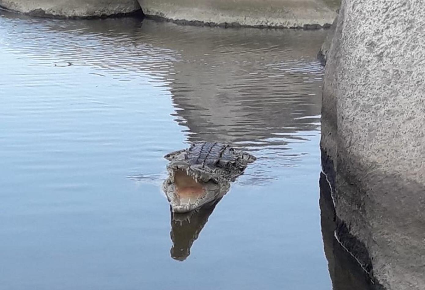 Caimán Aguja en Parque Tayrona.