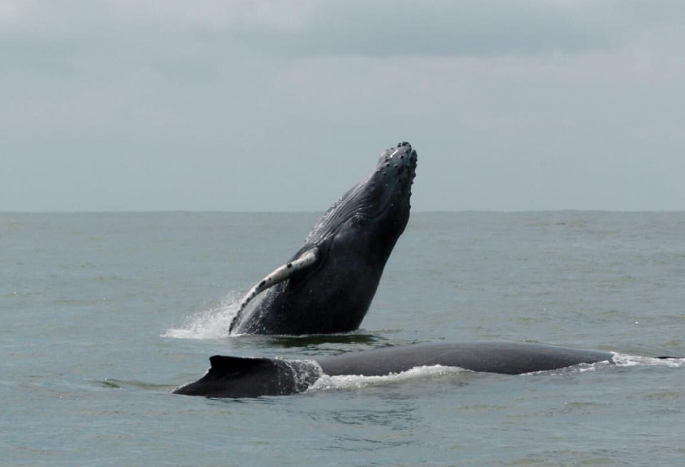 Ballenas jorobadas 2
