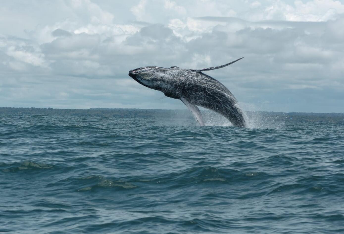 Ballenas jorobadas 3