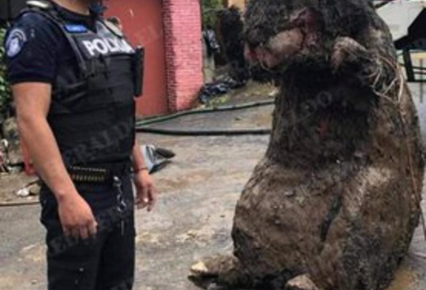 Rata gigante en México 1