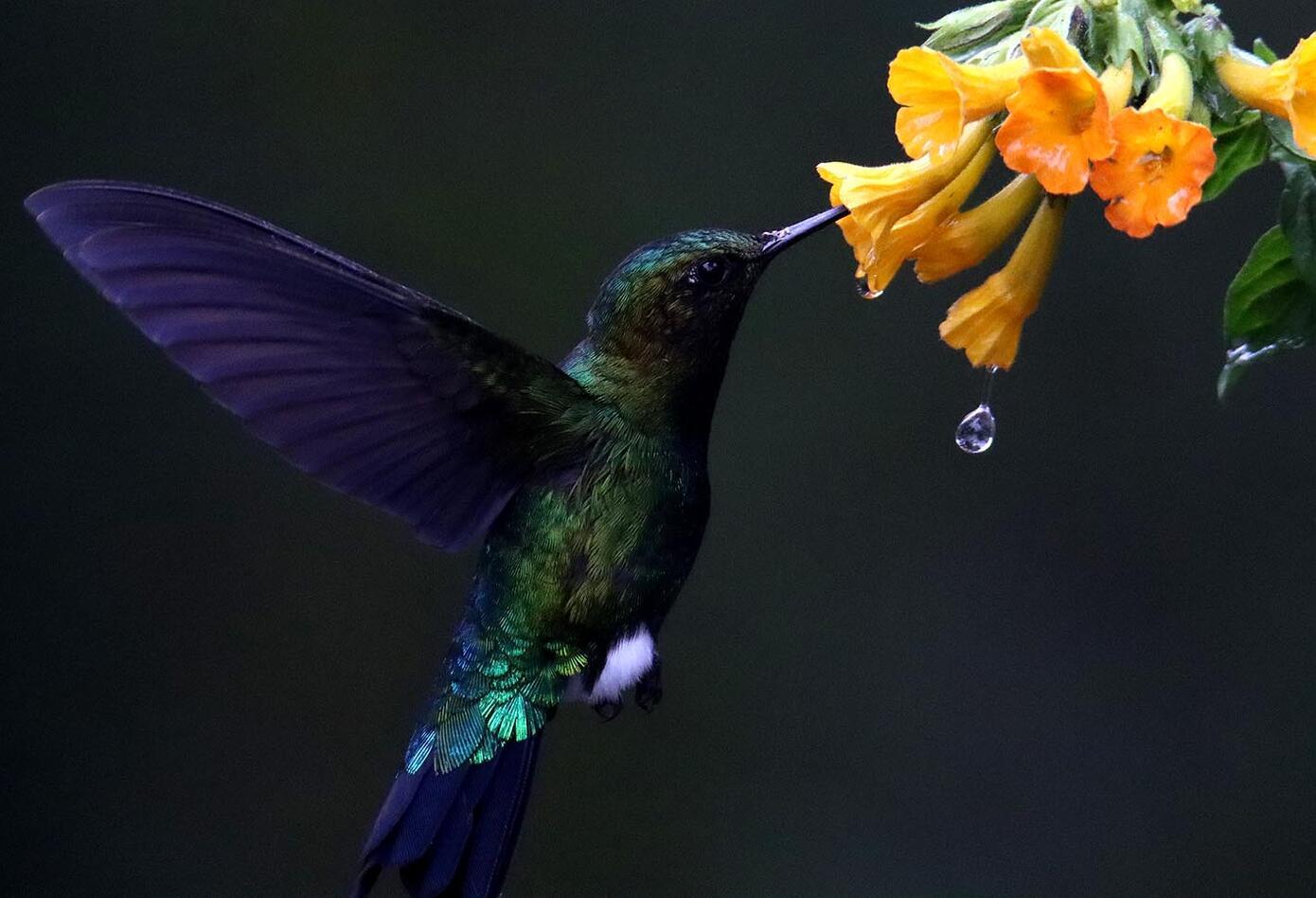 El colibrí en Monserrate - Paramuno