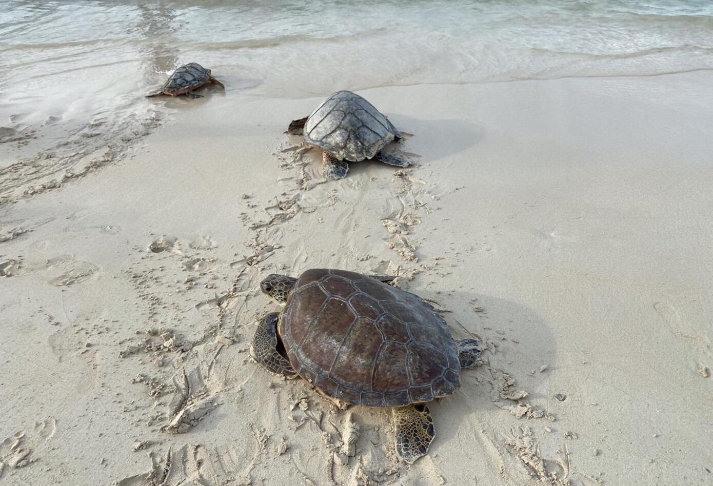 Liberación de tortugas.