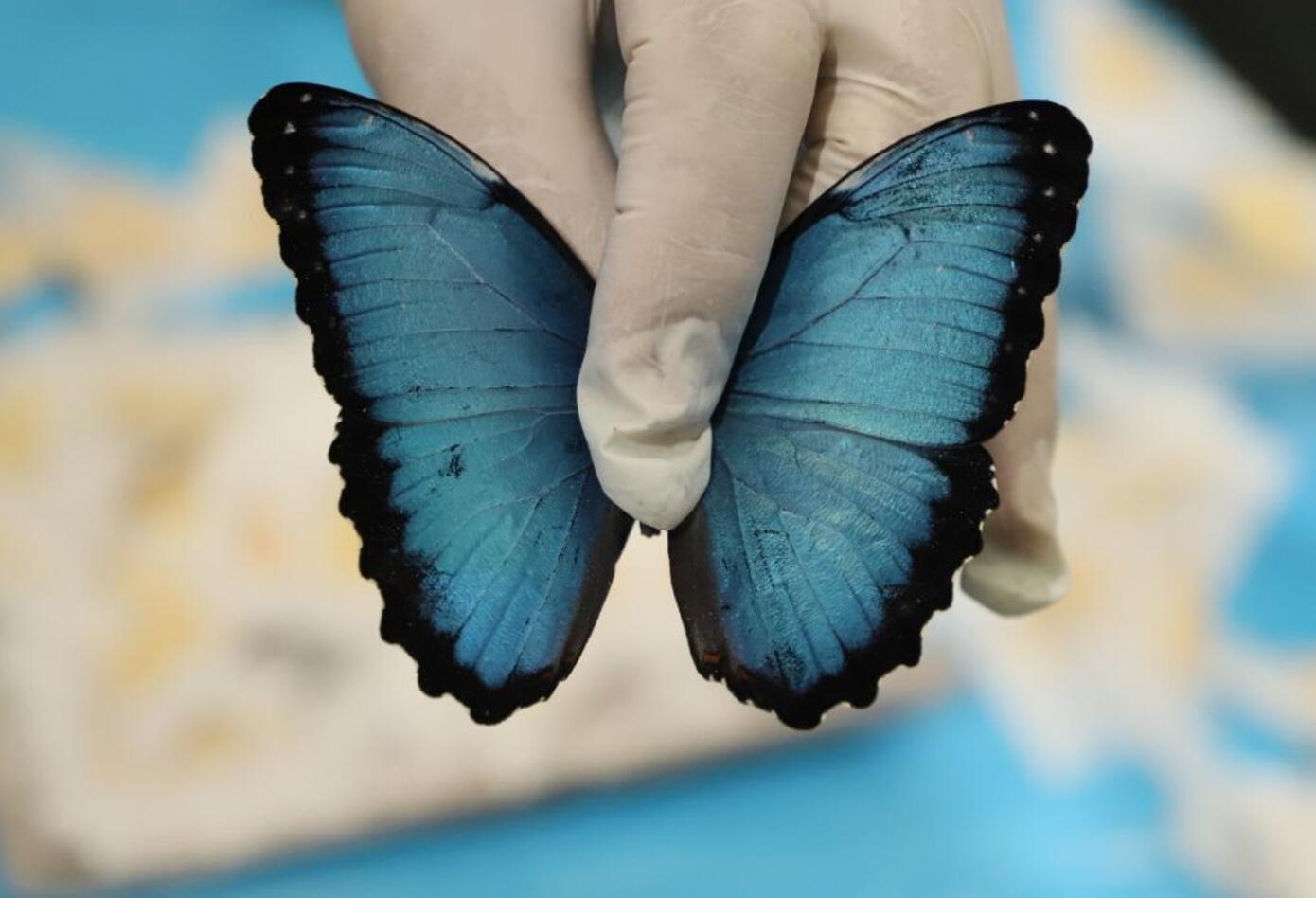 Especies recuperadas - Mariposa