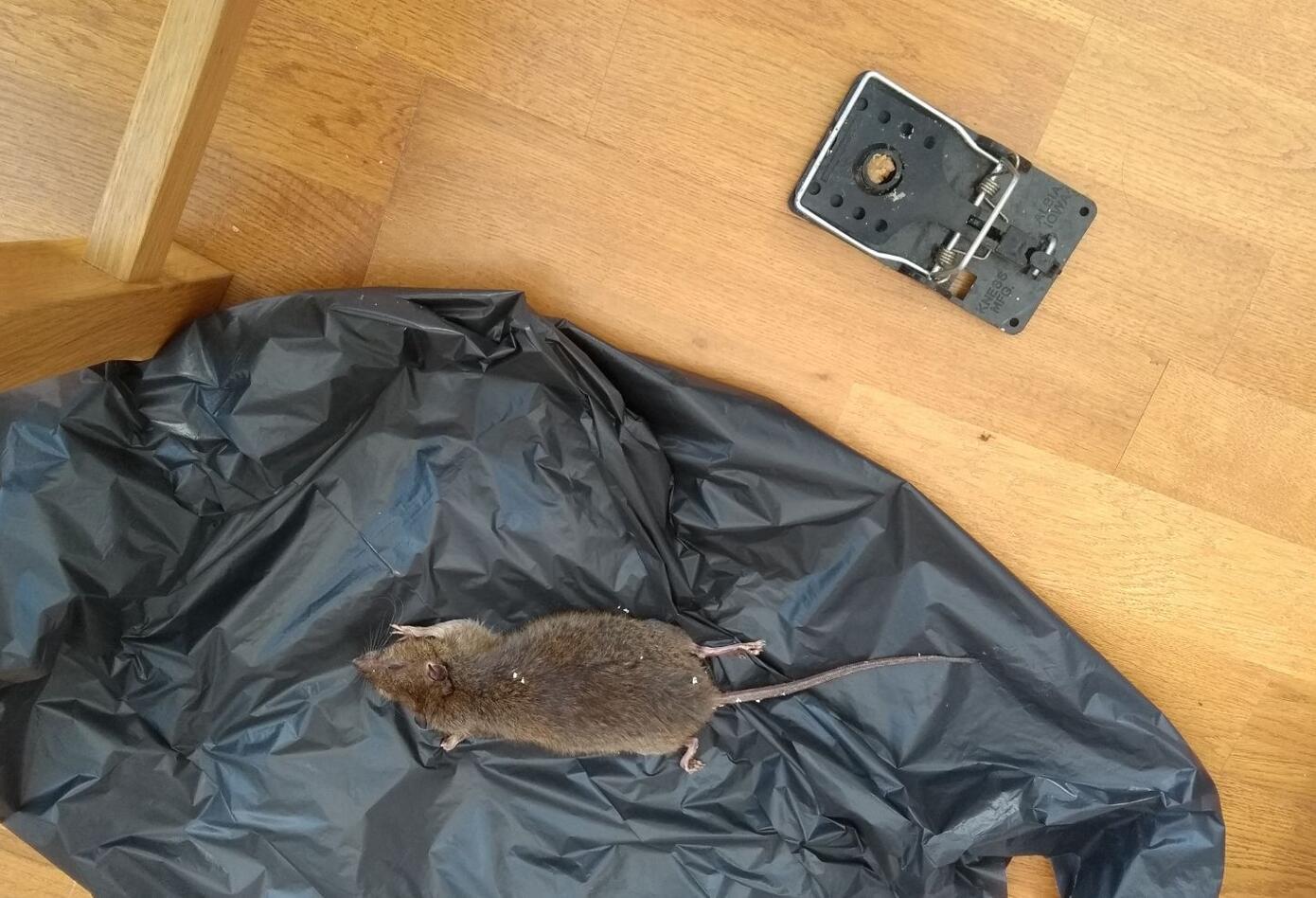 Ratas en Londres