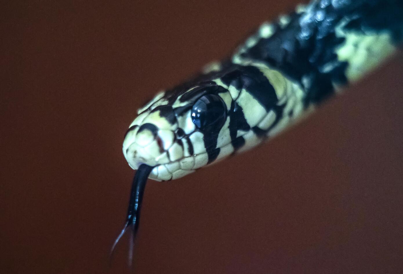 Pasión por serpientes, una extraña tendencia en auge