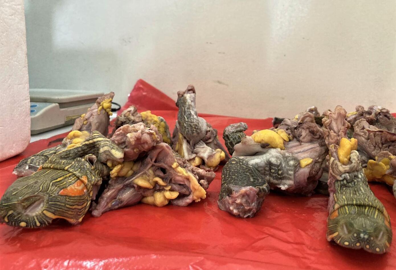 Tráfico de carne y huevos de tortuga