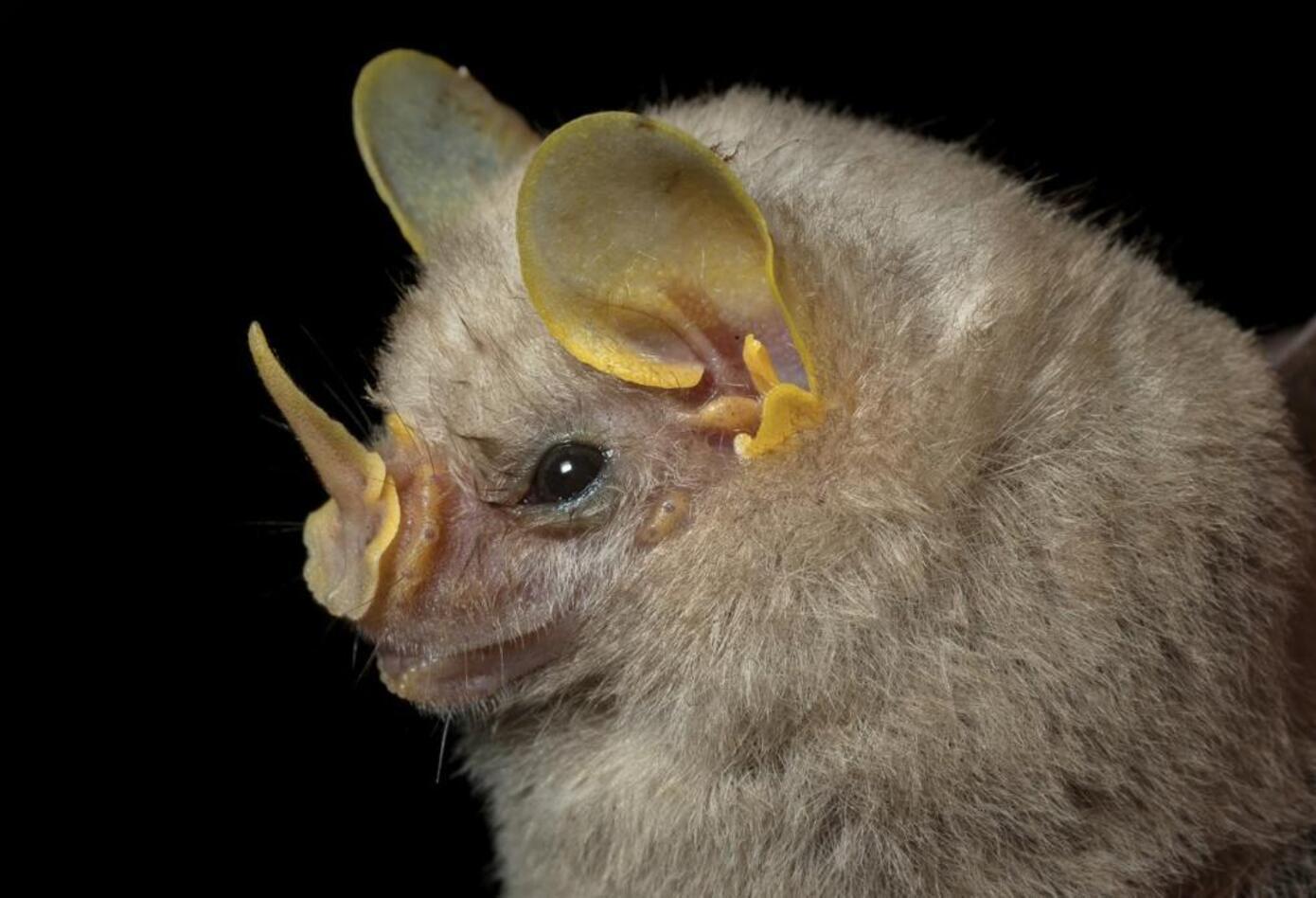 17 especies de murciélagos fueron registradas en la expedición, como Phyllostomus elongatus. Foto: Felipe Villegas (Instituto Humboldt).