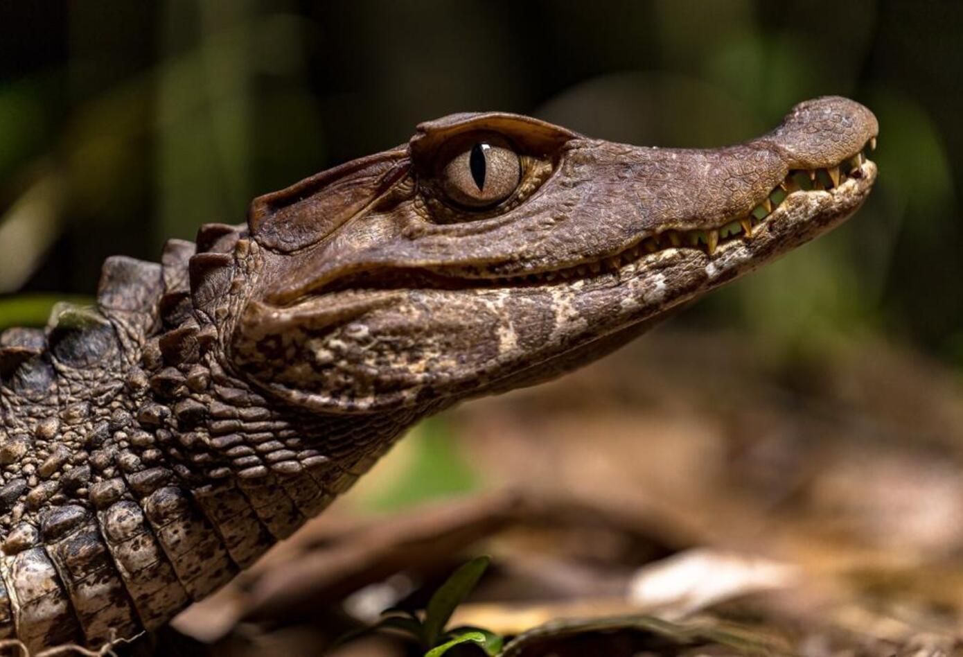 Los investigadores identificaron las cuatro especies de cocodrílidos: babillas, dos cachirres y el caimán llanero. Foto: Felipe Villegas (Instituto Humboldt).