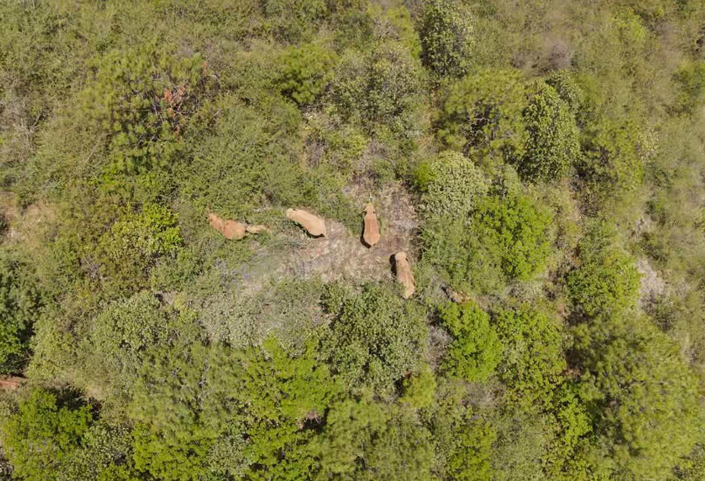 Manada de elefantes recorre China