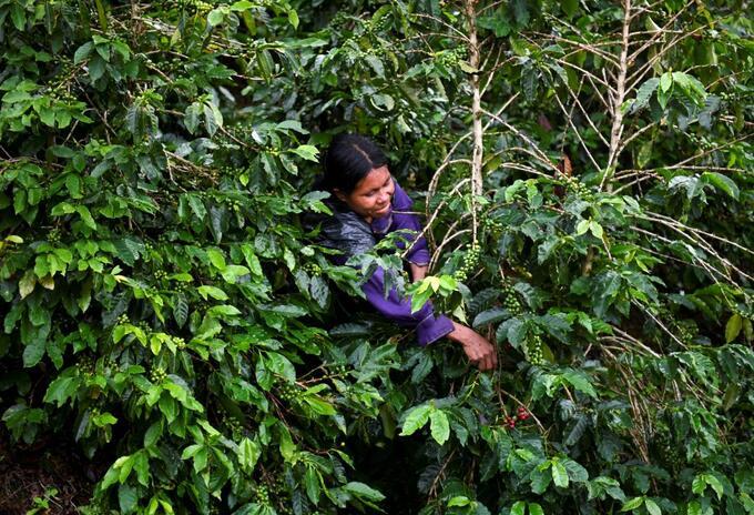 Una mujer cosecha café