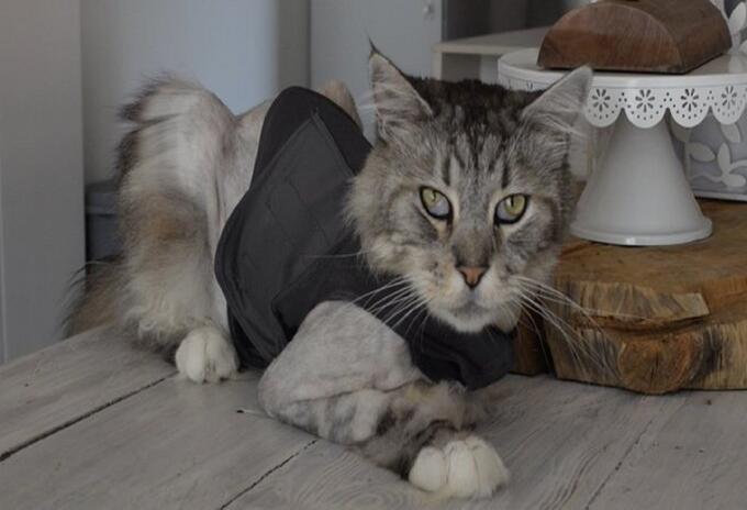 Gato con marcapasos