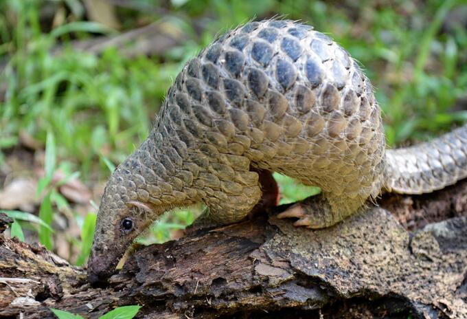 A este animal se le atribuye la transmisión de coronavirus