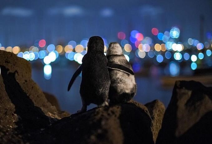 Pingüinos abrazándose