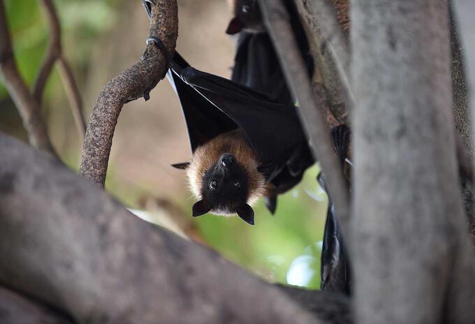 El Nipah tendría origen en los murciélagos