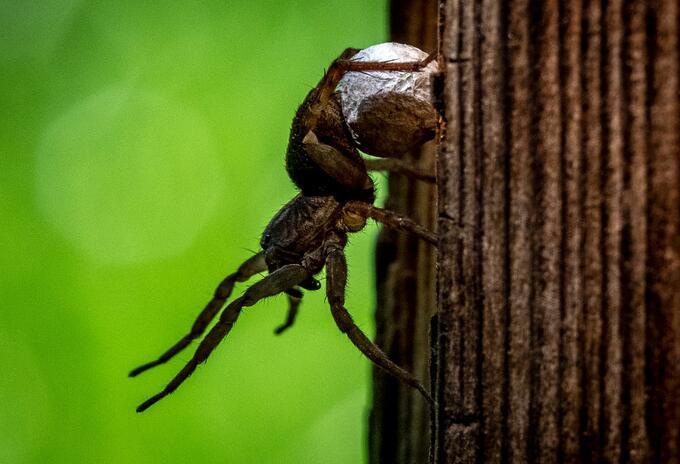 Arañas referencia
