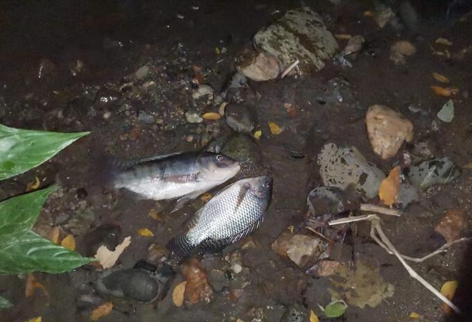 Peces muertos en Venadillo