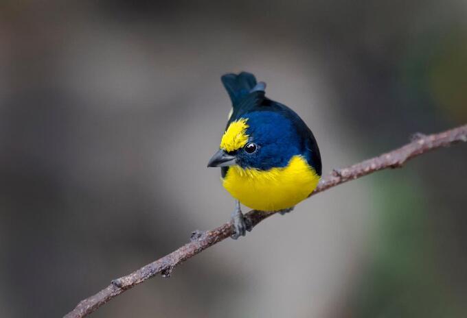 Aves en vía de extinción en Colombia