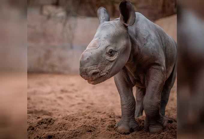 Rinoceronte negro que nación en zoológico