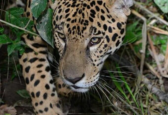 Ataque, felino, muertos, Cubará, indígenas