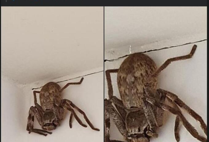 Araña gigante en Australia