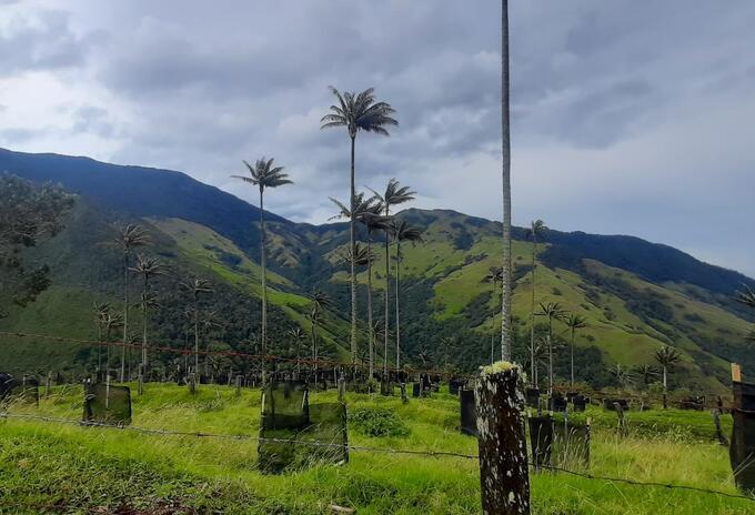 Cultivos de Aguacate al lado de la Palma de Cera - Fotografía tomada en septiembre de 2020 / Jessica Arias RCN Radio