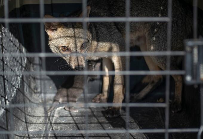 Trafico Ilegal de fauna - Archivo Corporación Autónoma Ambiental del Quindío