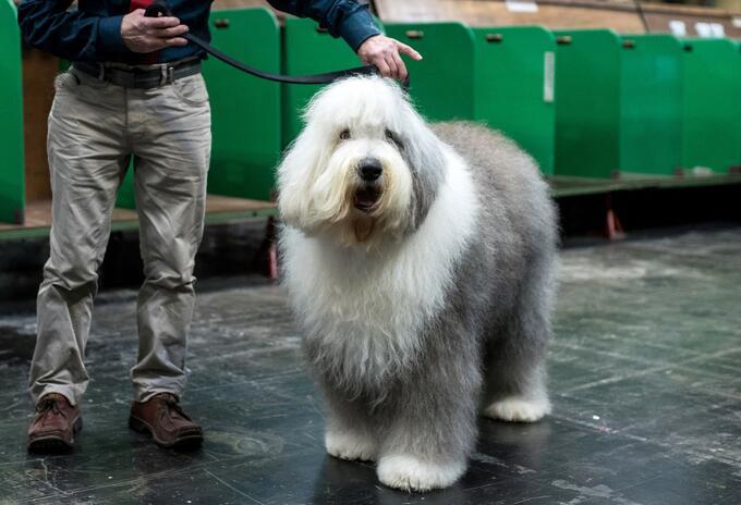 Perro pastor inglés, en peligro de extinción