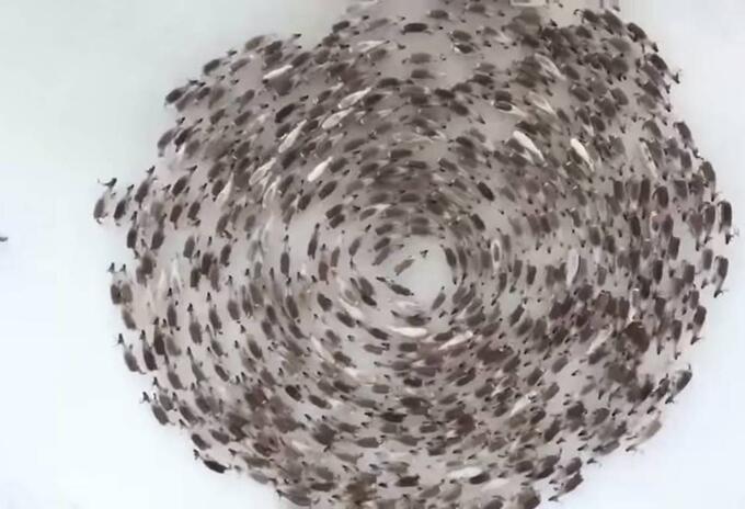 Renos corriendo en circulo