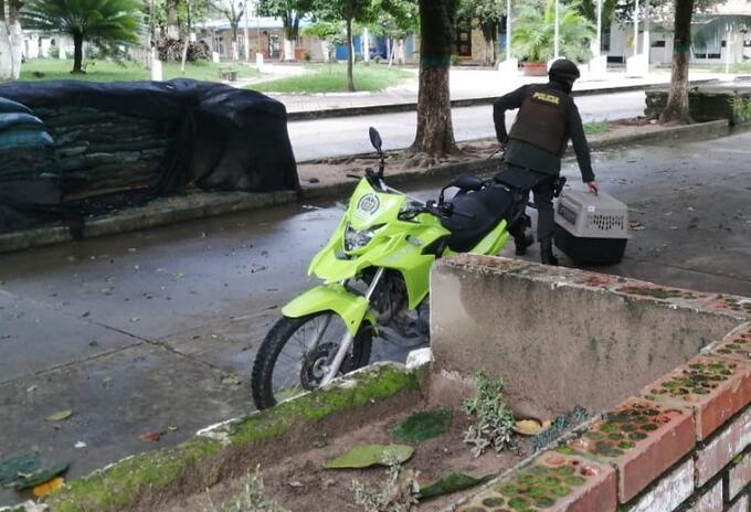 Tigrillo rescatado por la Policía en Saravena, Arauca.
