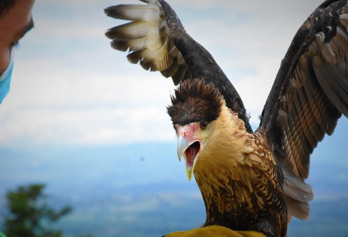 En Huila un ejemplar de Caracara Cheriway regresó a su hábitat natural